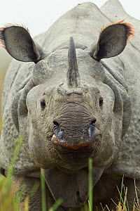 Indian / Asian one-horned rhinoceros (Rhinoceros unicornis) head on portrait, at Kaziranga National Park, Assam, India. - Sandesh  Kadur