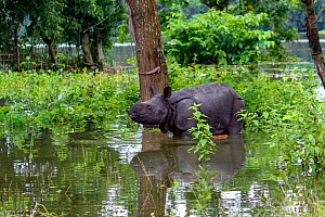 Indian rhinoceros (Rhinoceros unicornis) calf separated from mother during the monsoon floods, Kaziranga National Park, Assam, India  -  Sandesh  Kadur