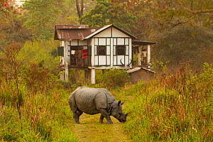 Indian rhinoceros (Rhinoceros unicornis) grazing in front of anti poaching camp, Kaziranga National Park, Assam, India - Sandesh  Kadur