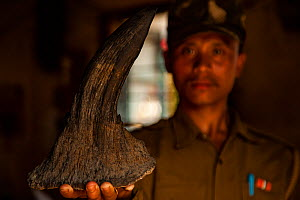 Forest guard holding seized Indian rhinoceros (Rhinoceros unicornis) horn, Kaziranga National Park, Assam, India - Sandesh  Kadur