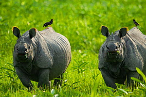 Indian rhinoceros (Rhinoceros unicornis) two with birds on back, Kaziranga National Park, Assam, India  -  Sandesh  Kadur