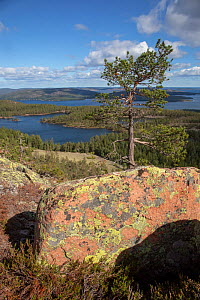 Lichen covered rock and Pine (Pinus sp) tree with coniferous forest and Gulf of Bothnia in background. View from Slattdalsberget, Skuleskogen National Park. High Coast World Heritage Site, Vasternorrl... - Pal Hermansen