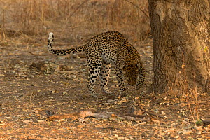 Leopard (Panthera pardus) female scratching ground after urinating, South Luangwa National Park, Zambia. August  -  Kristel  Richard
