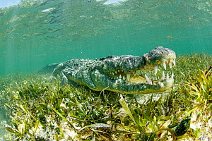 American crocodile over seagrass bed (Crocodylus acutus), Chinchorro Banks (Biosphere Reserve), Quintana Roo, Mexico  -  Franco  Banfi