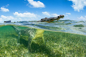 American crocodile over seagrass bed surfacing, (Crocodylus acutus), Chinchorro Banks (Biosphere Reserve), Quintana Roo, Mexico  -  Franco  Banfi