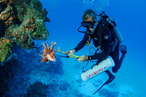 Scuba diver hunting invasive Lionfish (Pterois volitans) to feed to Crocodiles. May 2015.  -  Franco  Banfi