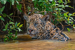 Jaguar (Panthera onca) male in water, Cuiaba River. Matogrossense National Park, Pantanal, Brazil.  -  Jeff Foott