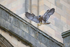 Peregrine (Falco peregrinus) fledgling landing on cathedral roof, Norwich UK GB June 2018  -  Robin Chittenden