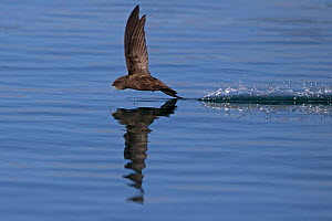 Common Swift (Apus apus) in flight reflected in water, Norfolk, England, UK. July.  -  Robin Chittenden