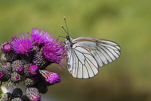 Black-veined white butterfly (Aporia crataegi) feeding on Thistle (Cirsium sp). Bavarian Forest National Park, Bavaria, Germany. June.  -  Kerstin  Hinze