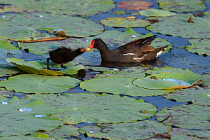 Moorhen (Gallinula chloropus) chick standing on lotus leaves with mother in a lake, East Lake Greenway park, Wuhan, Hubei, China  -  Staffan Widstrand / Wild Wonders of China