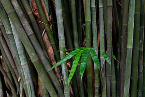 Bamboo, leaves and stems, East Lake Greenway park, Wuhan, Hubei, China - Staffan Widstrand / Wild Wonders of China