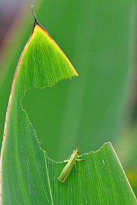 Grasshopper, which has eaten a big hole in a leaf, East Lake Greenway park, Wuhan, Hubei, China  -  Staffan Widstrand / Wild Wonders of China