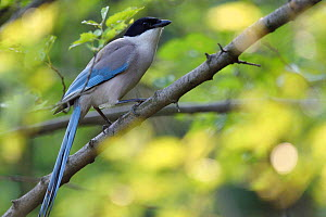 Azure-winged magpie (Cyanopica cyanus) perched on branch, East Lake Greenway park, Wuhan, Hubei, China - Staffan Widstrand / Wild Wonders of China