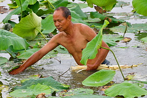 Local man collecting Indian, or Sacred Lotus flower stalks (Nelumbo nucifera) to eat, East Lake Greenway park, Wuhan, Hubei, China. June 2018 - Staffan Widstrand / Wild Wonders of China