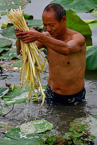 Local man collecting Indian / Sacred Lotus flower stalks (Nelumbo nucifera) for food, East Lake Greenway park, Wuhan, Hubei, China. June 2018 - Staffan Widstrand / Wild Wonders of China