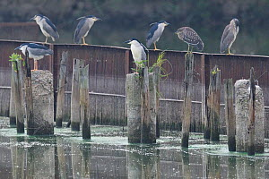 A group of Black-crowned night heron (Nycticorax nycticorax) perched on poles in East Lake Greenway park, Wuhan, Hubei, China  -  Staffan Widstrand / Wild Wonders of China
