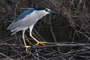 Black-crowned night heron (Nycticorax nycticorax) adult sitting on a branch in East Lake Greenway park, Wuhan, Hubei, China - Staffan Widstrand / Wild Wonders of China