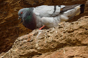 Hill Pigeon or Eastern Rock Dove (Columba rupestris) bird breeding at the Taoist Tian Feng Ling Temple, Beiyue Hengshan Mountain, Datong, Hunyuan County, Shanxi Province, China - Staffan Widstrand / Wild Wonders of China