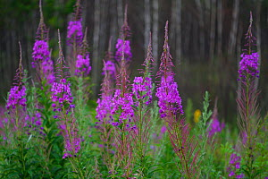 Fireweed, or Rosebay Willow-herb (Chamerion angustifolium) San He District Forest, near Yichun city, Heilongjiang Province, China  -  Staffan Widstrand / Wild Wonders of China