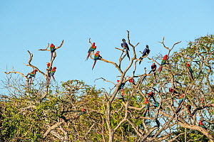 Red-and-green macaws (Ara chloropterus) and Hyacinth macaws (Anodorhynchus, hyacinthinus) perched in tree, Buraco das Araras, Bonito, Mato Grosso do Sul, Brazil  -  Franco  Banfi