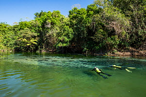 Photographer Franco Banfi snorkeling in search of fish in the Rio Sucuri, Bonito, Mato Grosso do Sul, Brazil  -  Franco  Banfi