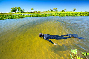 Snorkelling the tributary of the Paraguay River, Pantanal, Brazil  -  Franco  Banfi