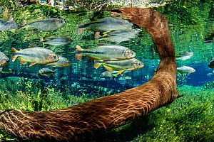 Tree trunk underwater with Piraputanga fish (Brycon hilarii) reflected on the water surface, Aquario Natural, Bonito, Mato Grosso do Sul, Brazil  -  Franco  Banfi