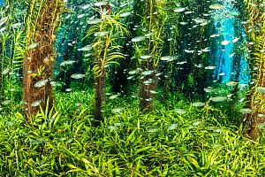 Underwater plants growing to the surface of the spring with shoal of small fish, Bonito, Mato Grosso do Sul, Brazil  -  Franco  Banfi