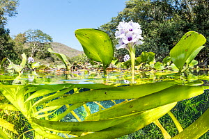 Split level view of Water hyacinth, (Eichhornia sp.), in a spring close to Bonito, Mato Grosso do Sul, Brazil  -  Franco  Banfi