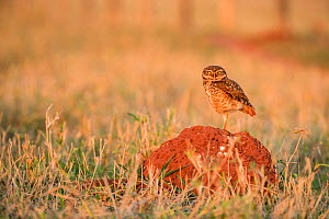 Burrowing owl (Athene cunicularia) perched on termite mound, Mato Grosso do Sul, Brazil - Franco  Banfi