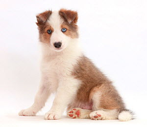 Sable-and-white Border Collie puppy, age 8 weeks, sitting. - Mark Taylor