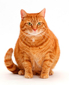Overweight ginger cat. - Mark Taylor