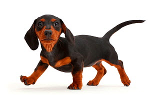Black-and-tan Dachshund puppy walking.  -  Mark Taylor