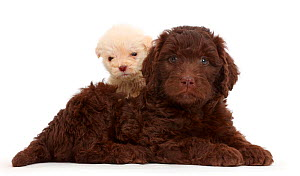 Chocolate and golden labradoodle puppies. These puppies are both age 6 weeks, but the smaller one is a runt. - Mark Taylor