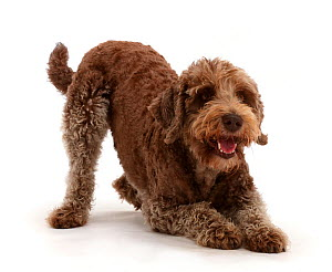 Labradoodle in play-bow. - Mark Taylor