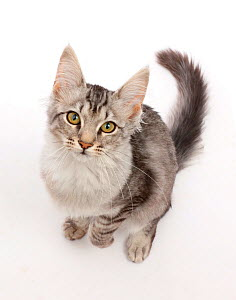 Mackerel Silver Tabby cat, sitting and looking up.  -  Mark Taylor
