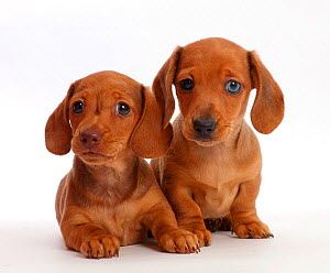 Two Red Dachshund puppies.  -  Mark Taylor