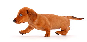 Red Dachshund puppy walking across.  -  Mark Taylor