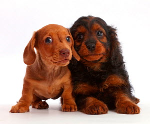 Red Dachshund puppy and Cavapoo puppy.  -  Mark Taylor