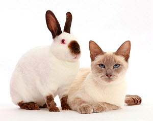 Blue-point Birman-cross cat and Sable point rabbit. NOT AVAILABLE FOR BOOK USE - Mark Taylor