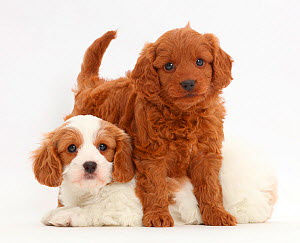 Two Cavapoo puppies. - Mark Taylor