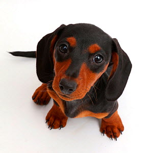 Black-and-tan Dachshund puppy sitting looking up.  -  Mark Taylor