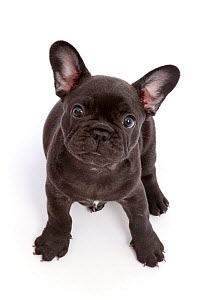 French Bulldog puppy,age 6 weeks, sitting and looking up.  -  Mark Taylor