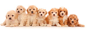 Seven Cavapoochon puppies,age 6 week, sitting in a row. - Mark Taylor