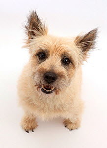 Cairn Terrier dog, Cara, sitting and looking up.  -  Mark Taylor