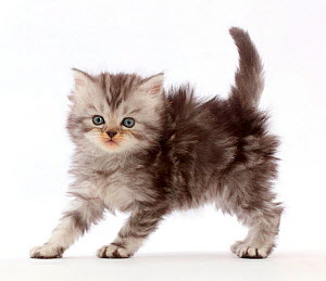 Silver tabby Persian-cross kitten arching back in playful confrontation.  -  Mark Taylor