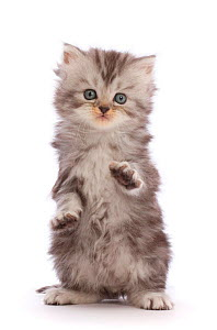 Silver tabby Persian-cross kitten with raised paws.  -  Mark Taylor