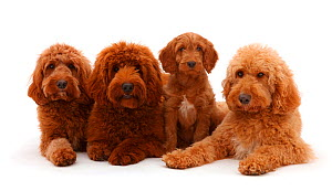 Three Australian Labradoodles adults and a puppy lying in a row. - Mark Taylor