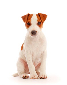 Jack Russell Terrier puppy, Bertie, 11 weeks, sitting.  -  Mark Taylor
